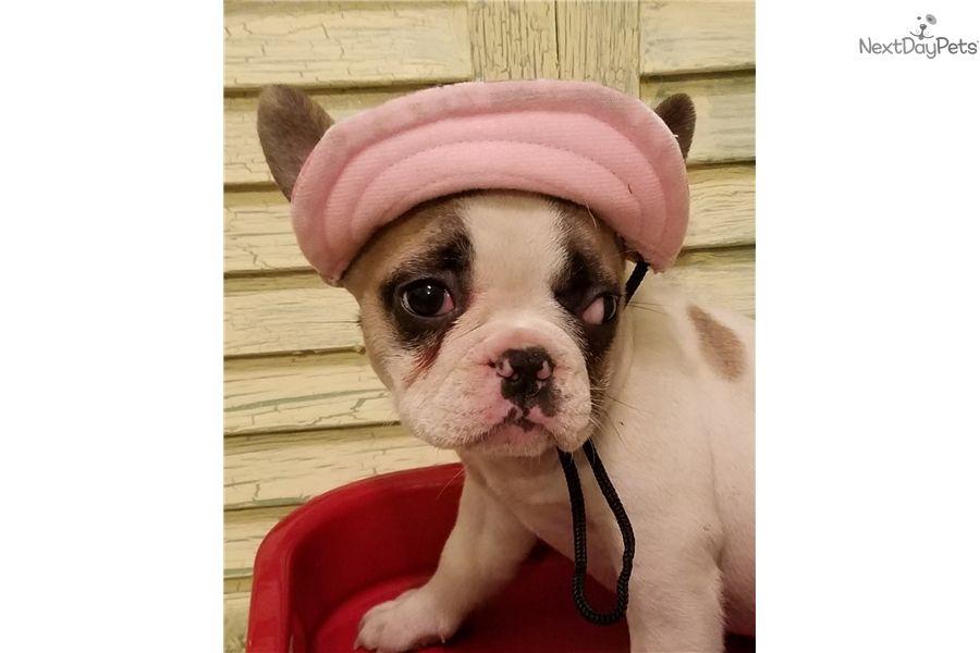 French bulldog puppy for sale near houston texas