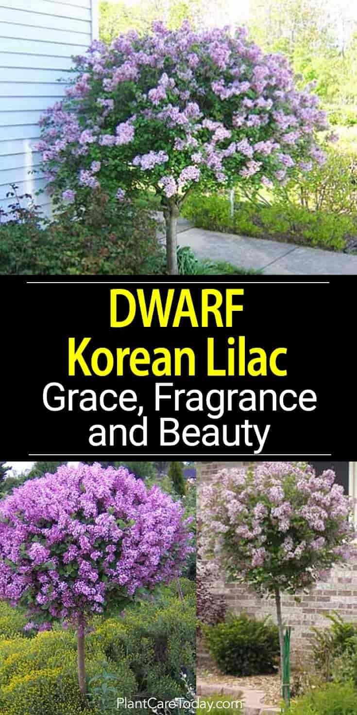 Dwarf Korean Lilac: Attractive Easy Care Fragrant Shrub