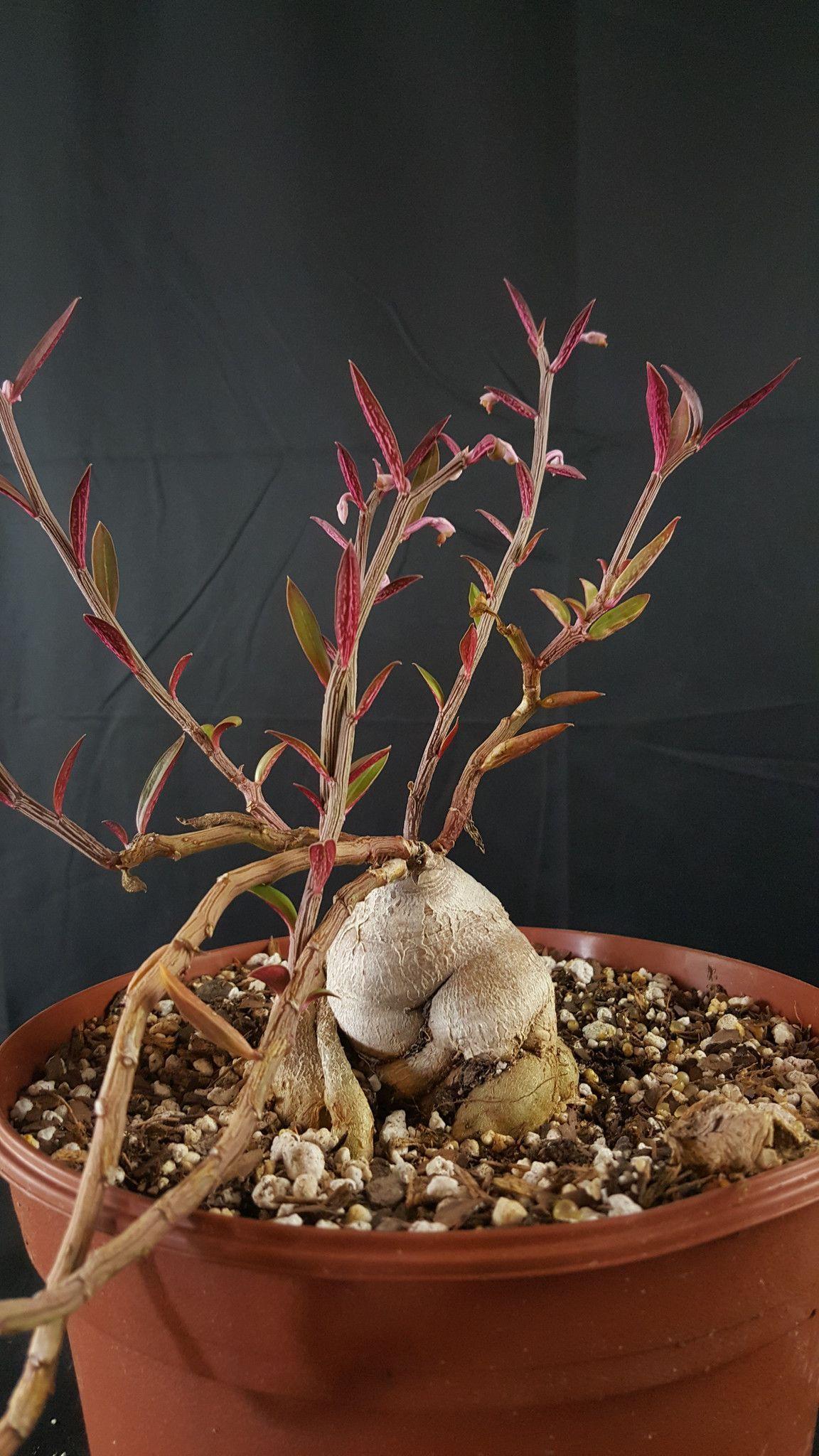 Monadenium rubellum