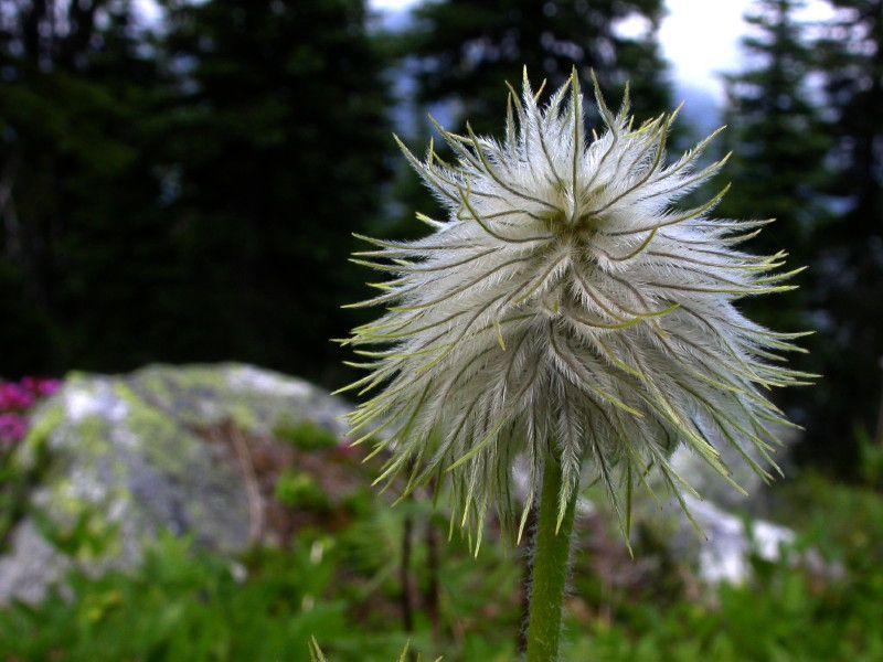 (DG- FF2) western anemone