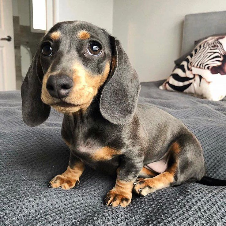 Patiently Waiting To Grow Into My Ears Dachshund Tribe