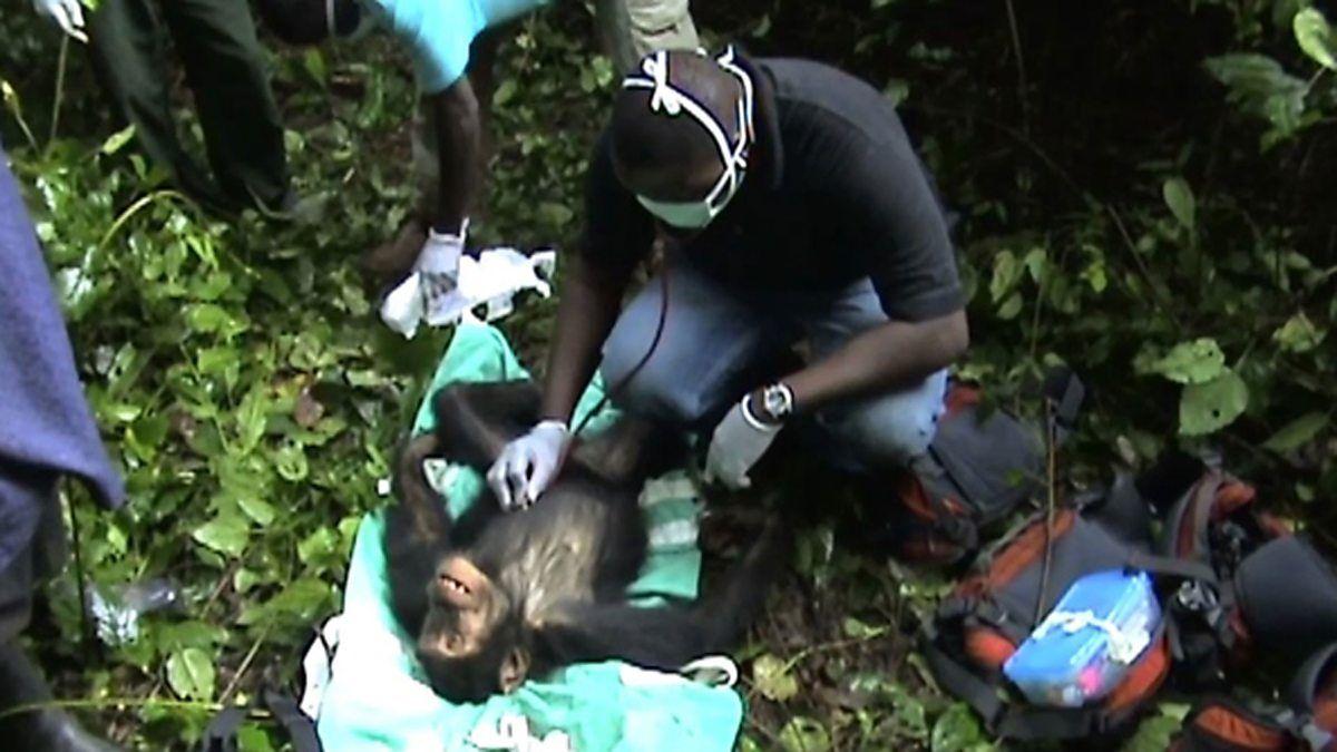 Pin by Kari Ann on Animals Chimpanzee, Bbc world service