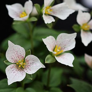 Trillium Plants And Bulbs For Nurseries Online Uk