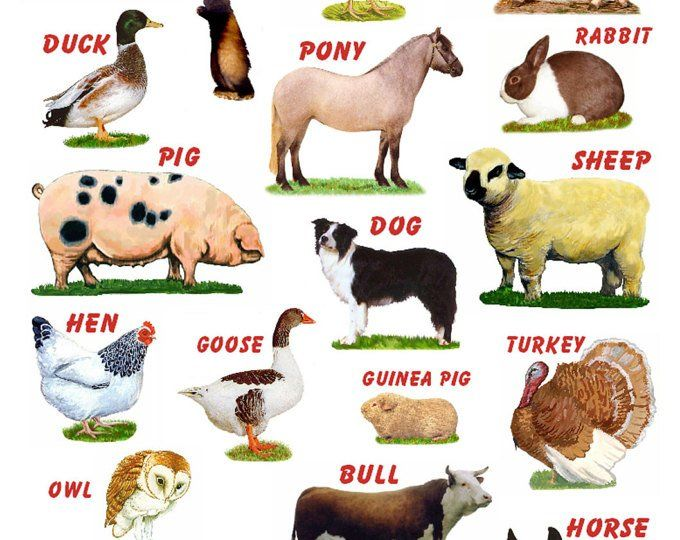 A4 Laminated Posters. Breeds of Poultry, 2 different