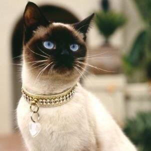 Lovely Siamese Cat!