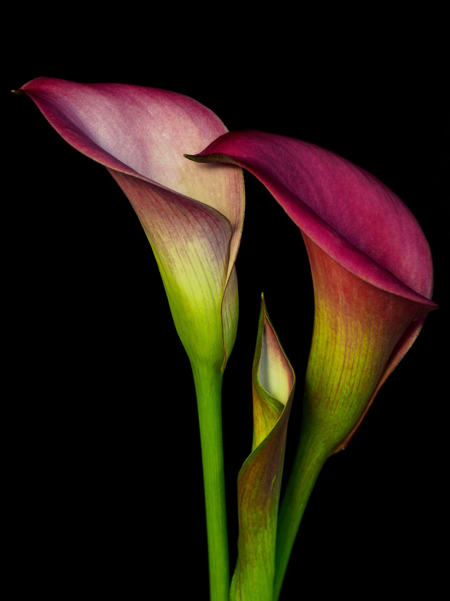 Three Calla Lillies Calla Lillies Flowers Photography Amazing Flowers