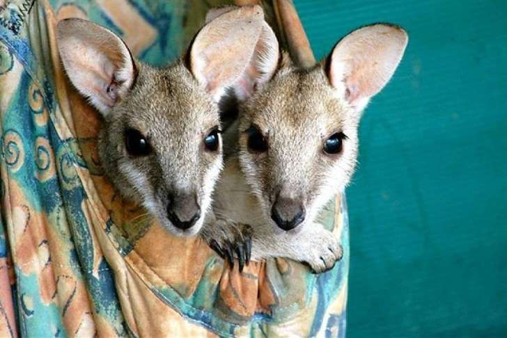Carers say Qantas should remove its kangaroo branding
