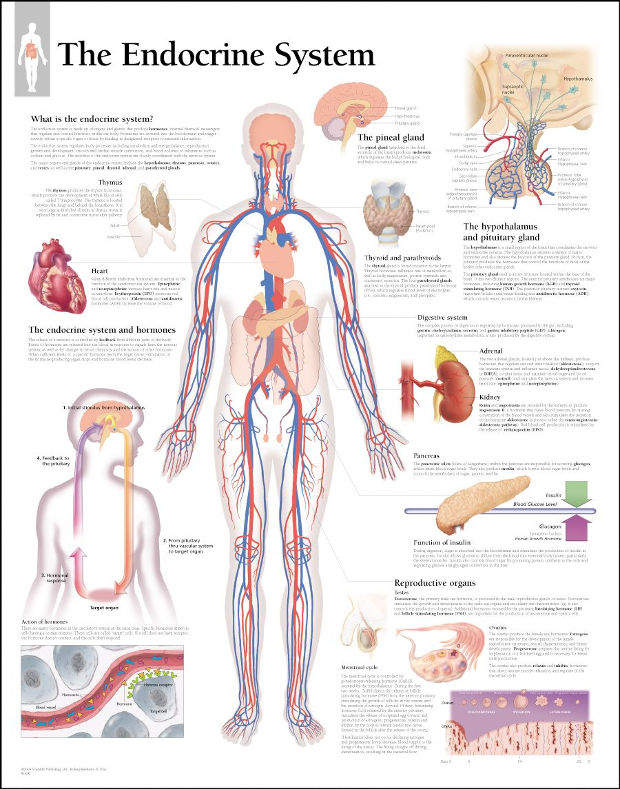 Endocrine system legs | The Explanation of Endocrine Gland Hormones ...