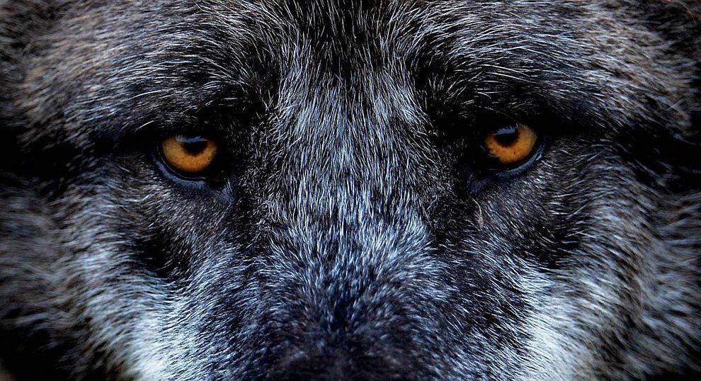 Анимация фото печальный взгляд волка