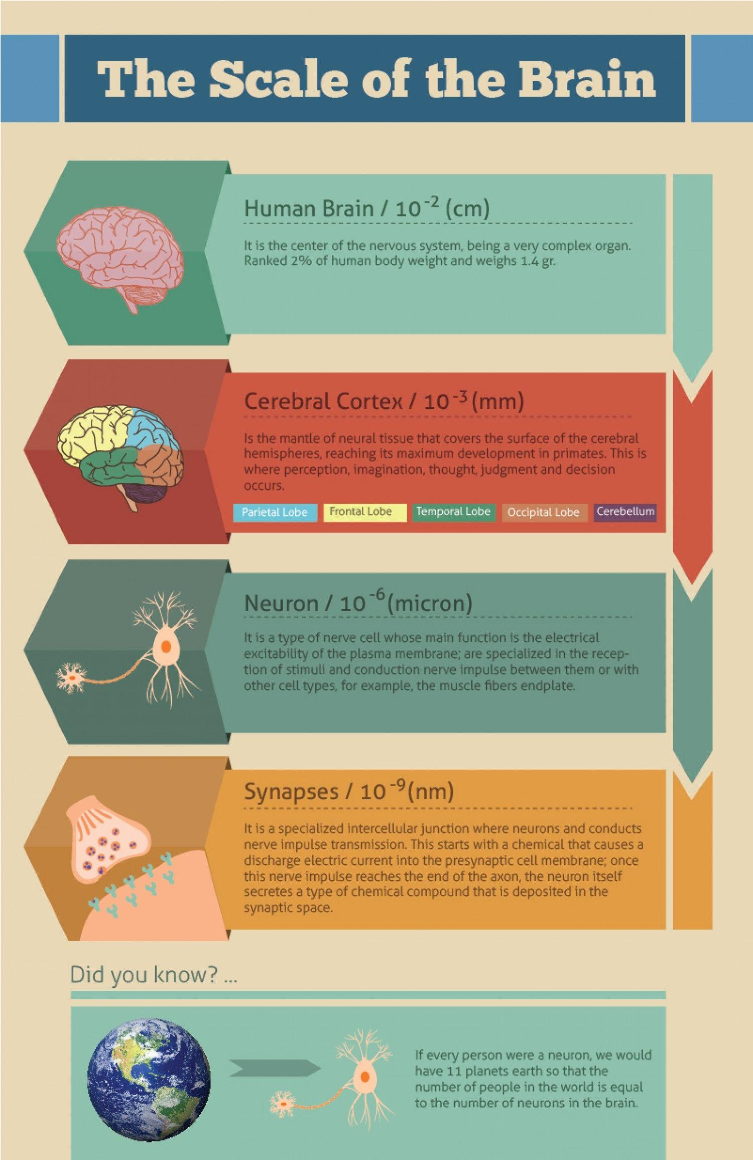 The Scale Of The Brain Infographic Infografia Brain Science Cerebral Cortex Neurons