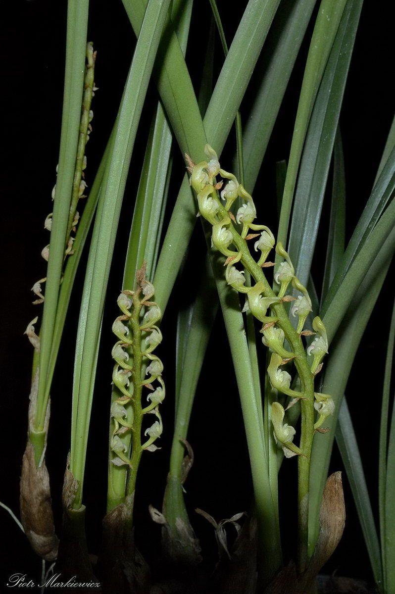 Bulbophyllum calyptratum var. graminifolium
