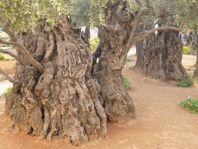 How To Grow An Olive Tree From A Seed Plants Trees To Plant