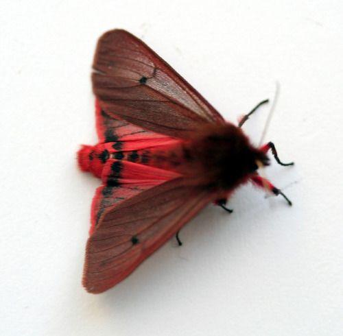 Tiger Ruby Moth 蛾 虫 蝶