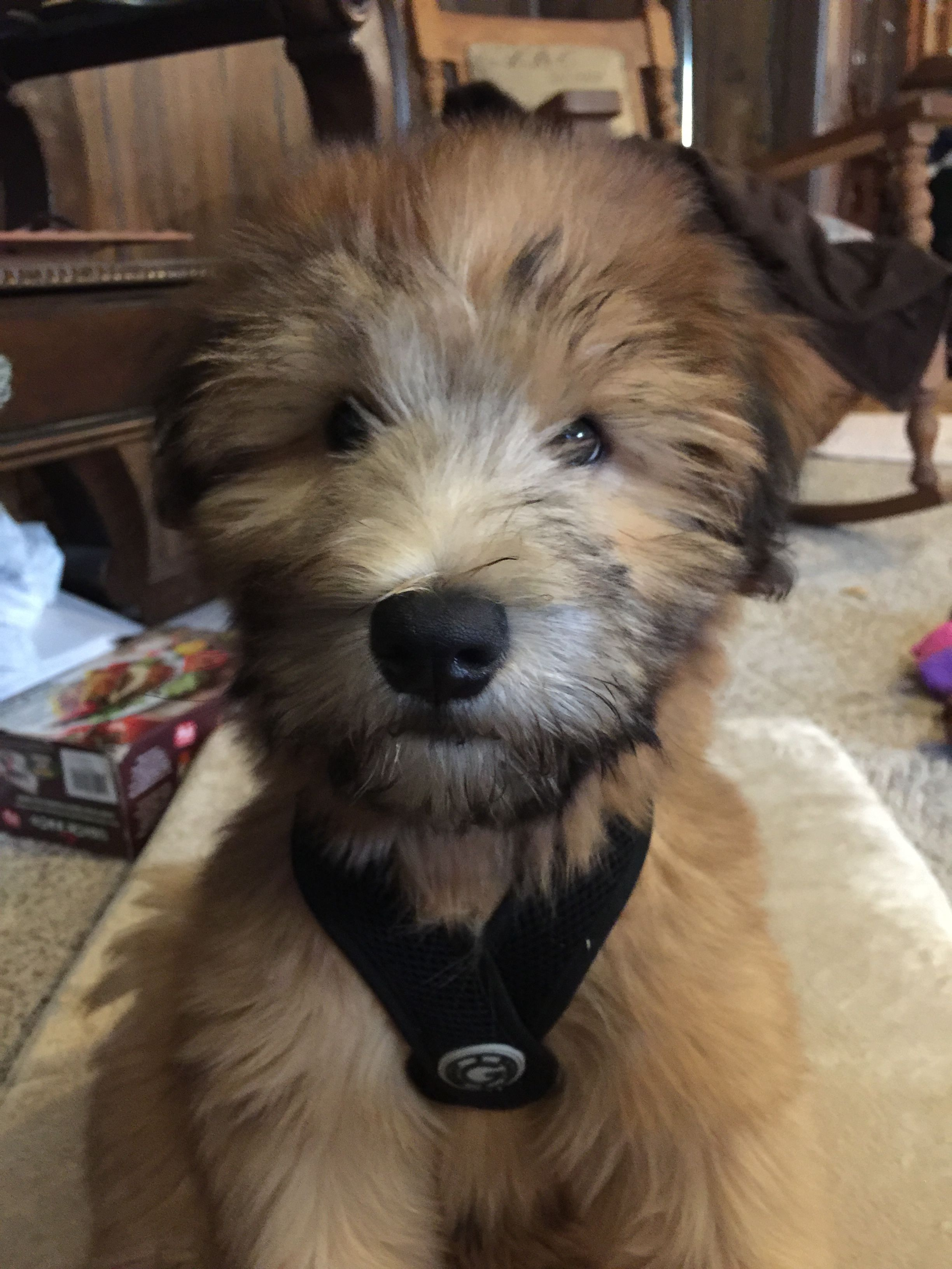 3 Month Old American Soft Coated Wheaten Terrier Baby Dogs Soft Coated Wheaten Terrier Wheaton Terrier