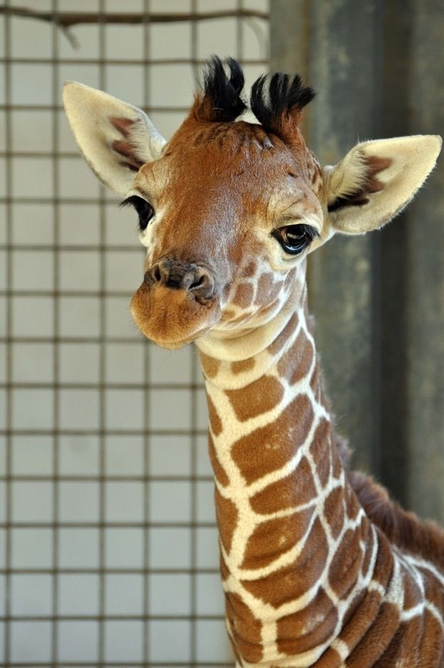 Please Say Hello To This 1 Month Old Baby Giraffe Cute Giraffe Animals Beautiful Baby Animals