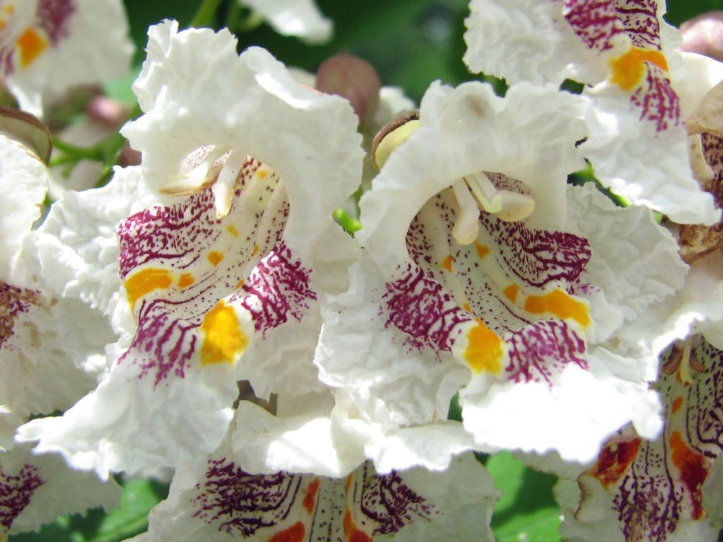 Tree identification catalpa speciosa western catalpa creamy tree identification catalpa speciosa western catalpa creamy white campanulate bell shaped flowers with yellow and brownpurple markings mightylinksfo