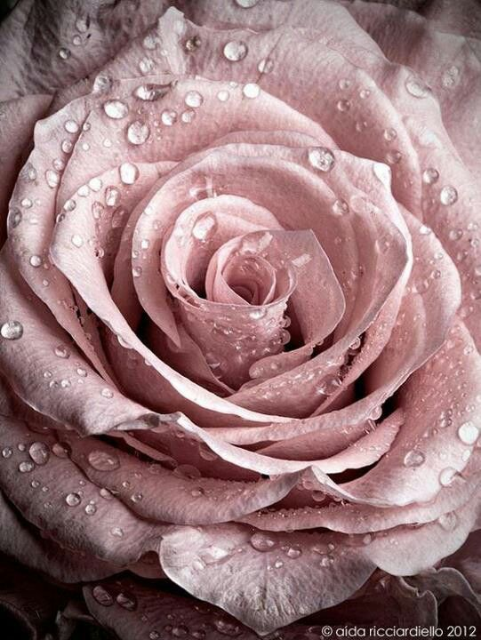 A Dusky Pink Rose Glistening With Dew From Pinky Pleasures Especially For You C