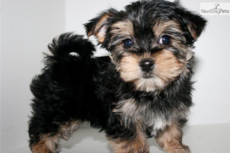 Full Grown Malti Poo Maltipoo Puppy