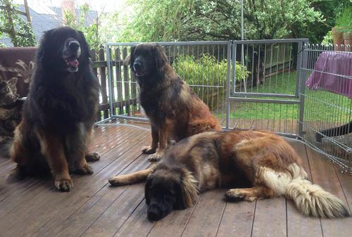 Leonberger Puppy Care, Leonberger Dog Breed Information ...