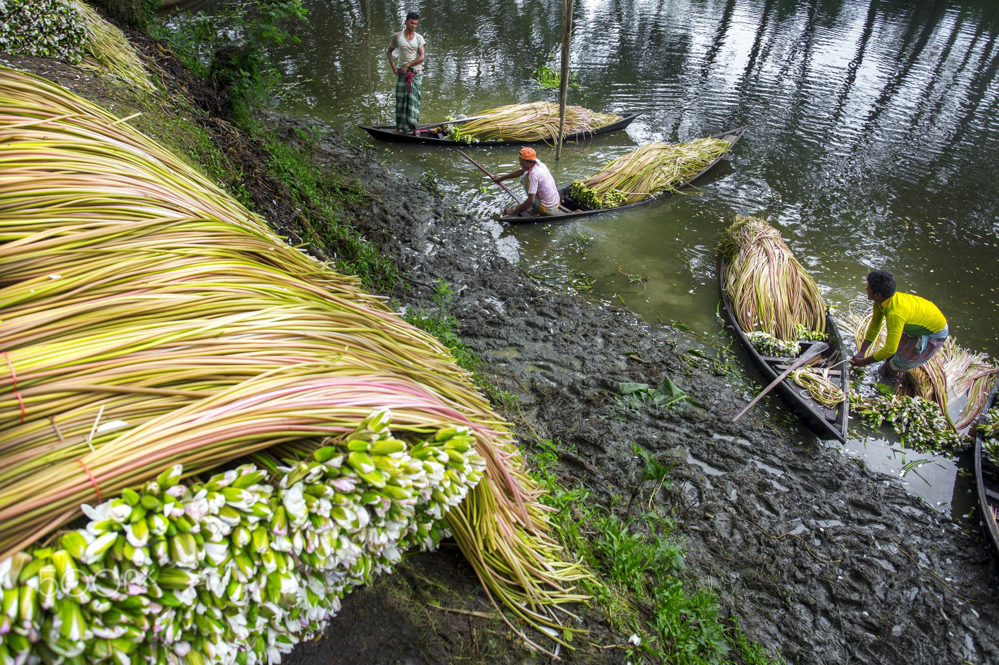 Waterlily Harvesting Sada Shapla (white waterlily) is