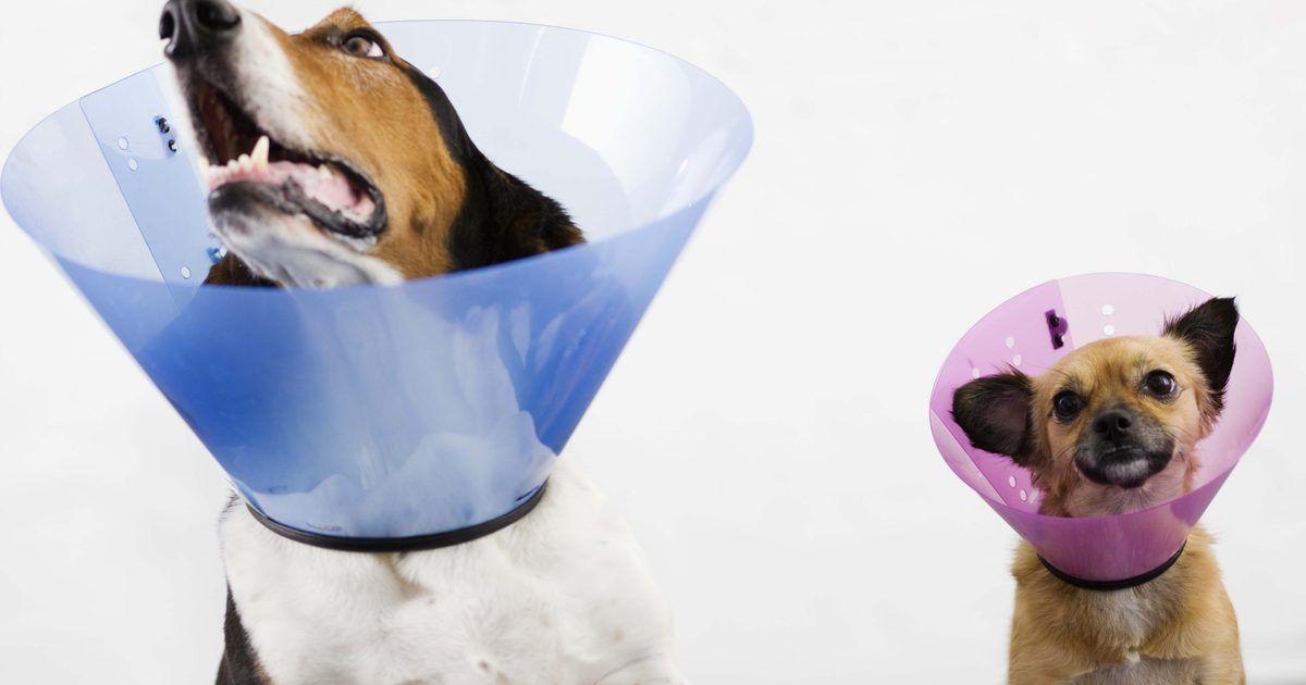 Cómo hacer un cono para evitar que un perro lama sus heridas ...