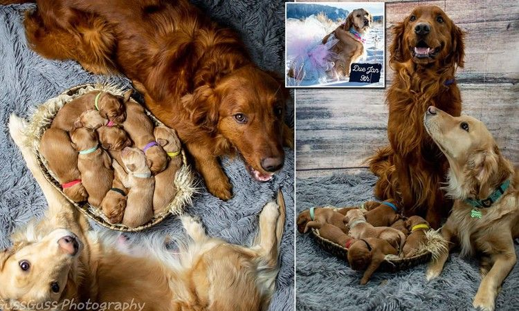 Adorable Golden Retriever Gives Birth To Nine Puppies Daily Mail