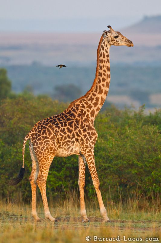 PICHER OF GRAFFE  Giraffe  Animals  Giraffe Giraffe