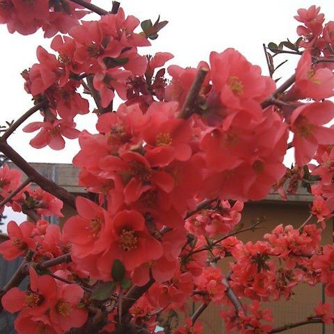 Breathtaking: Chaenomeles japonico. Todi, Umbria, March 24th