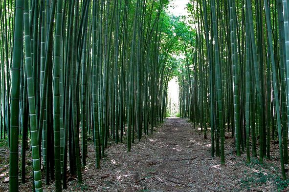 Germogli Di Bamb Coltivazione.177 Best Bambu Italiano Images Bamboo Forest Maui Custom