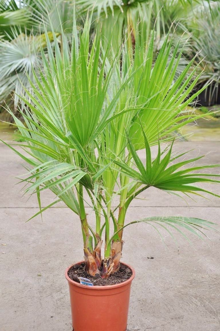 Petticoat Palme Mexikanische Washingtonpalme Tuff Palmen Pflanzen Winterharte Palmen