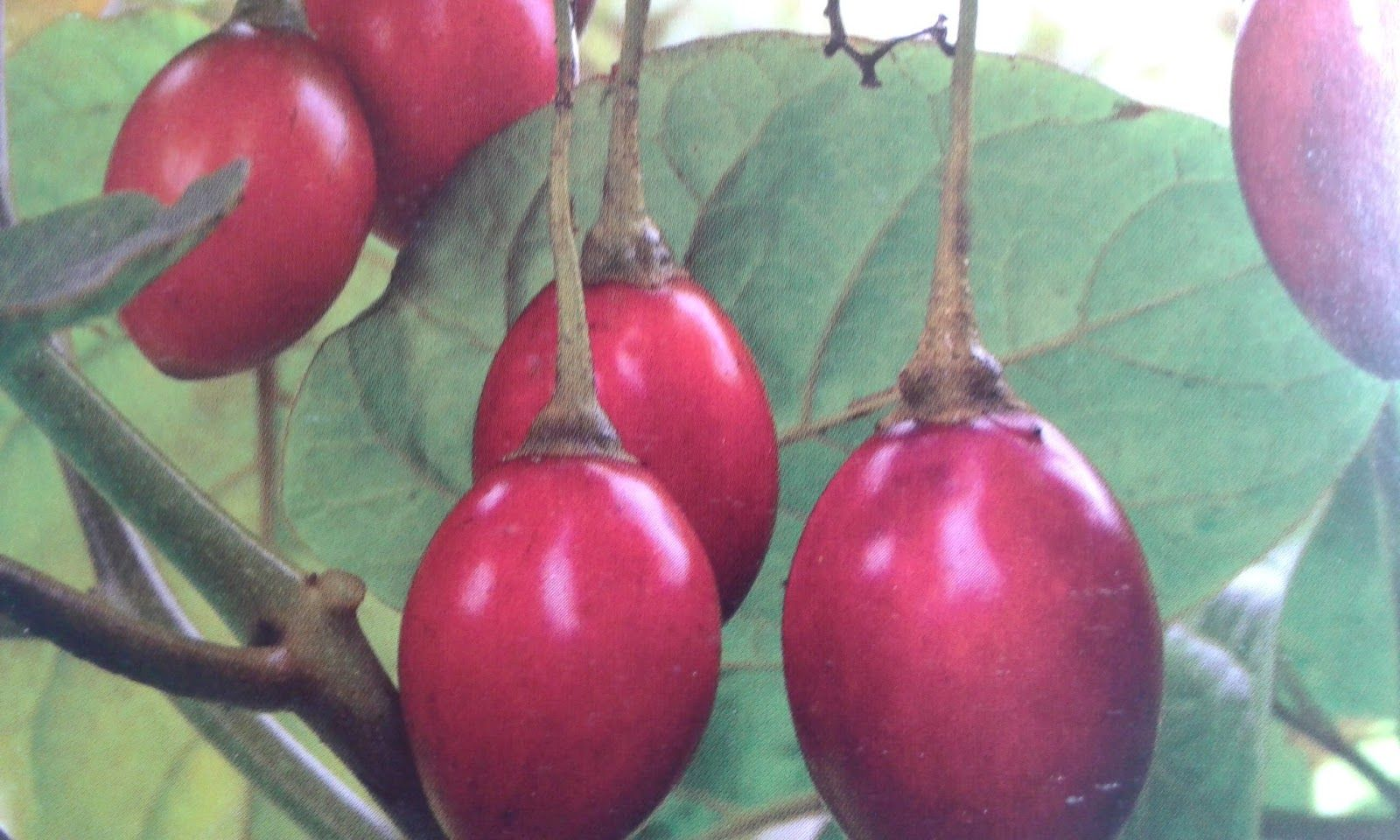 Growing tamarillo trees from seed growing fruit