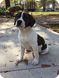 Beagle Boxer Mix Dog For Adoption In Baton Rouge Louisiana