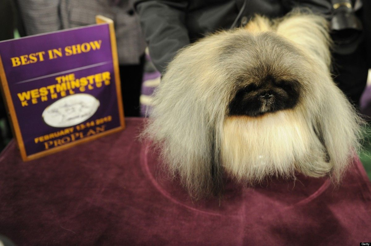 Pekingese Wins Best in Show at the 136th Westminster Kennel Club Dog Show advise