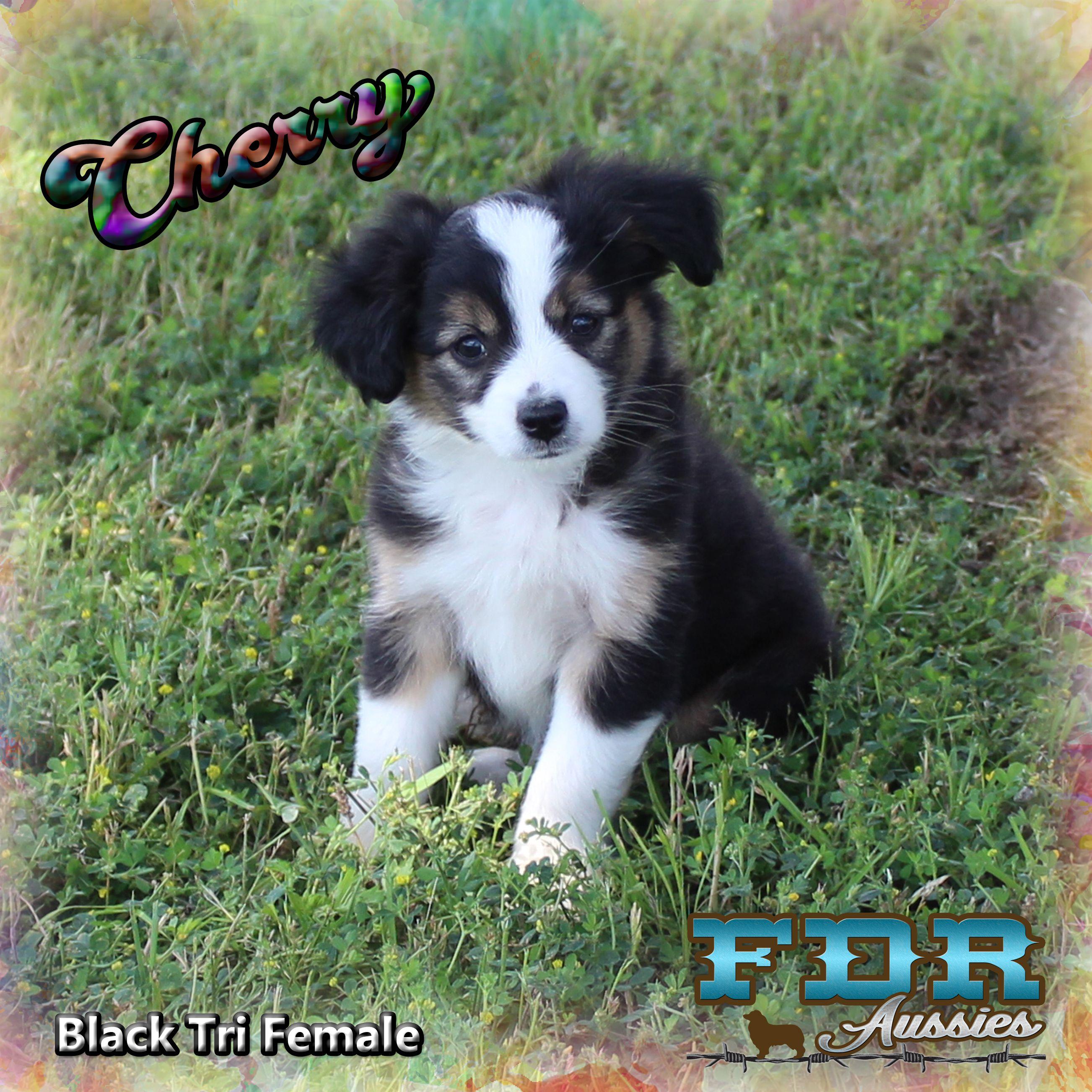 Cherry Is A Toy Black Tri Female Aussie Mini Aussie Puppy