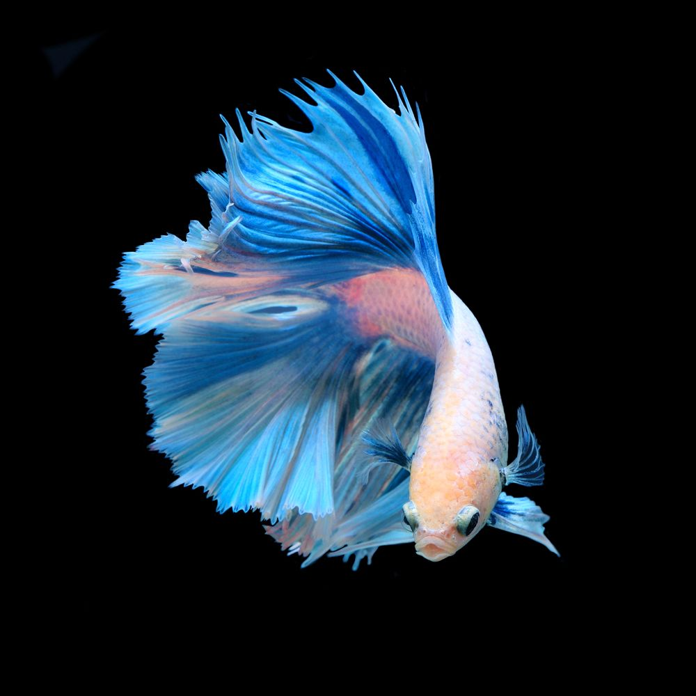 Top 35 beautiful types of betta fish with amazing for Betta fighting fish