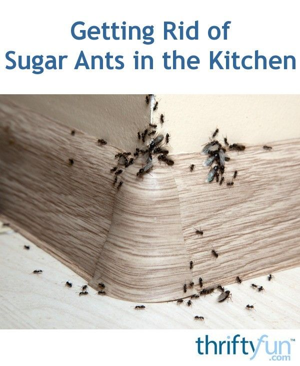 Getting Rid Of Sugar Ants In The Kitchen Pest Control