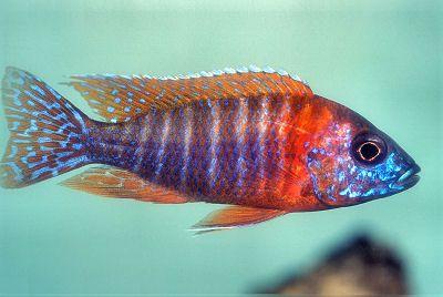 "Rubin Red Peacock or Aulonocara stuartgranti ""Chipoka"""