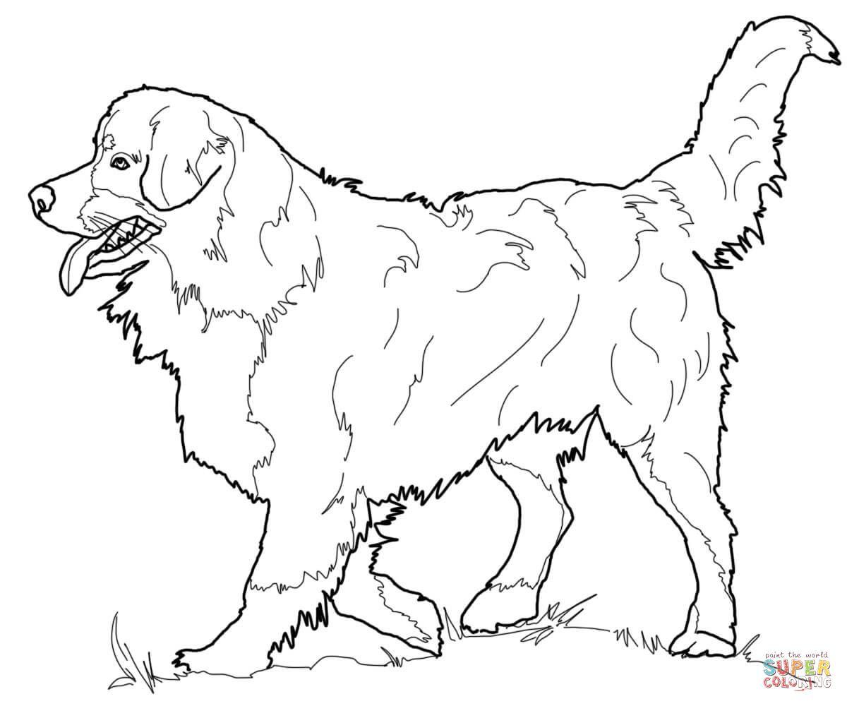 Bernese Mountain Dog Dog Coloring Page Animal Coloring Pages Bernese Mountain Dog
