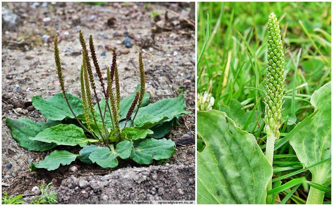 Pin On Herbs Rosliny Lecznicze