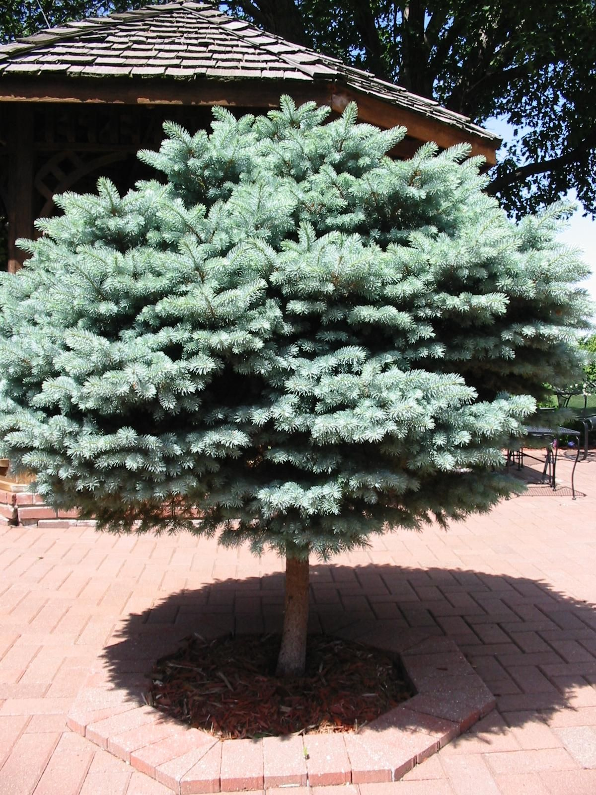 Blue Spruce on Standard Trees for the