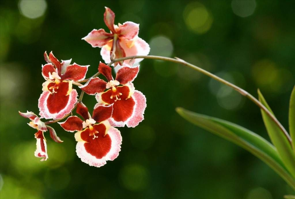 pflege von oncidium orchideen wie funktioniert das eigentlich pinterest flowers. Black Bedroom Furniture Sets. Home Design Ideas
