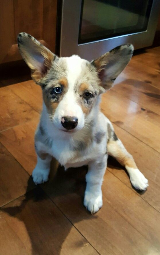 Aussie Corgi Mix Puppy Blue Merle Most Adorable Pup Ever Look At Those Ears Willow At 13 Weeks Corgi Aussie Mix Corgi Mix Puppies Cutest Puppy Ever