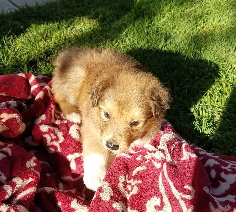 Litter Of 6 Australian Shepherd Puppies For Sale In Fresno Ca