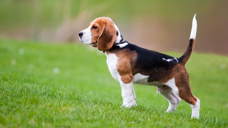 20 Dogs That Can Be Left Alone Beagle Dog Breed Beagle Puppy