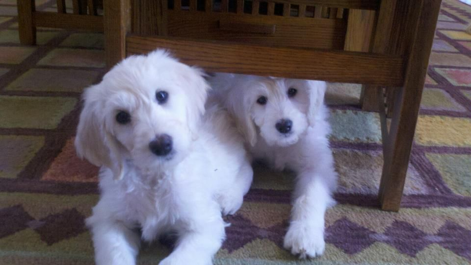 Sisters! English White Goldendoodle Puppies. Phoebe Rose