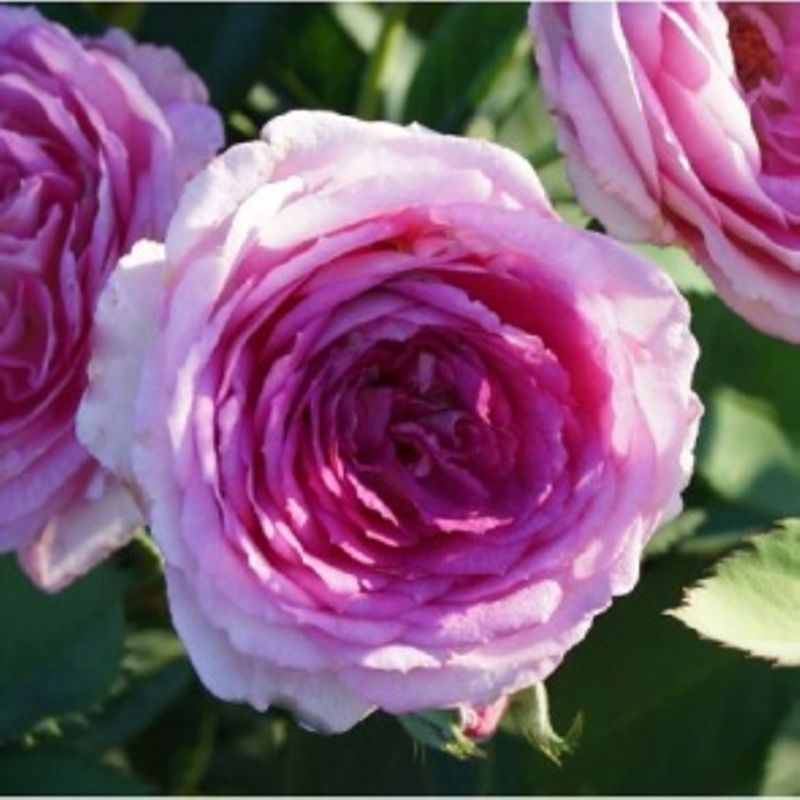 Ships To Zones 5 Through 9 This Unusual English Style Rose Bush Has A Color And Perfume That Would Make The Queen Jealous Lavendar Crush