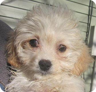 Providence Ri Pekingese Poodle Miniature Mix Meet Xander M A Puppy For Adoption Kitten Adoption Puppy Adoption Pets