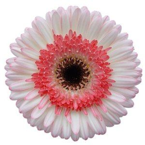 White With Pink Gerber Daisy Flower Fiftyflowers Com Daisy Flower Gerbera Daisy Flower Bouquet Wedding