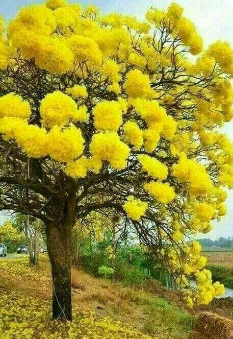 Mimosa Tree é Bonita No Entanto Aqui Na Ilha Da Madeira é