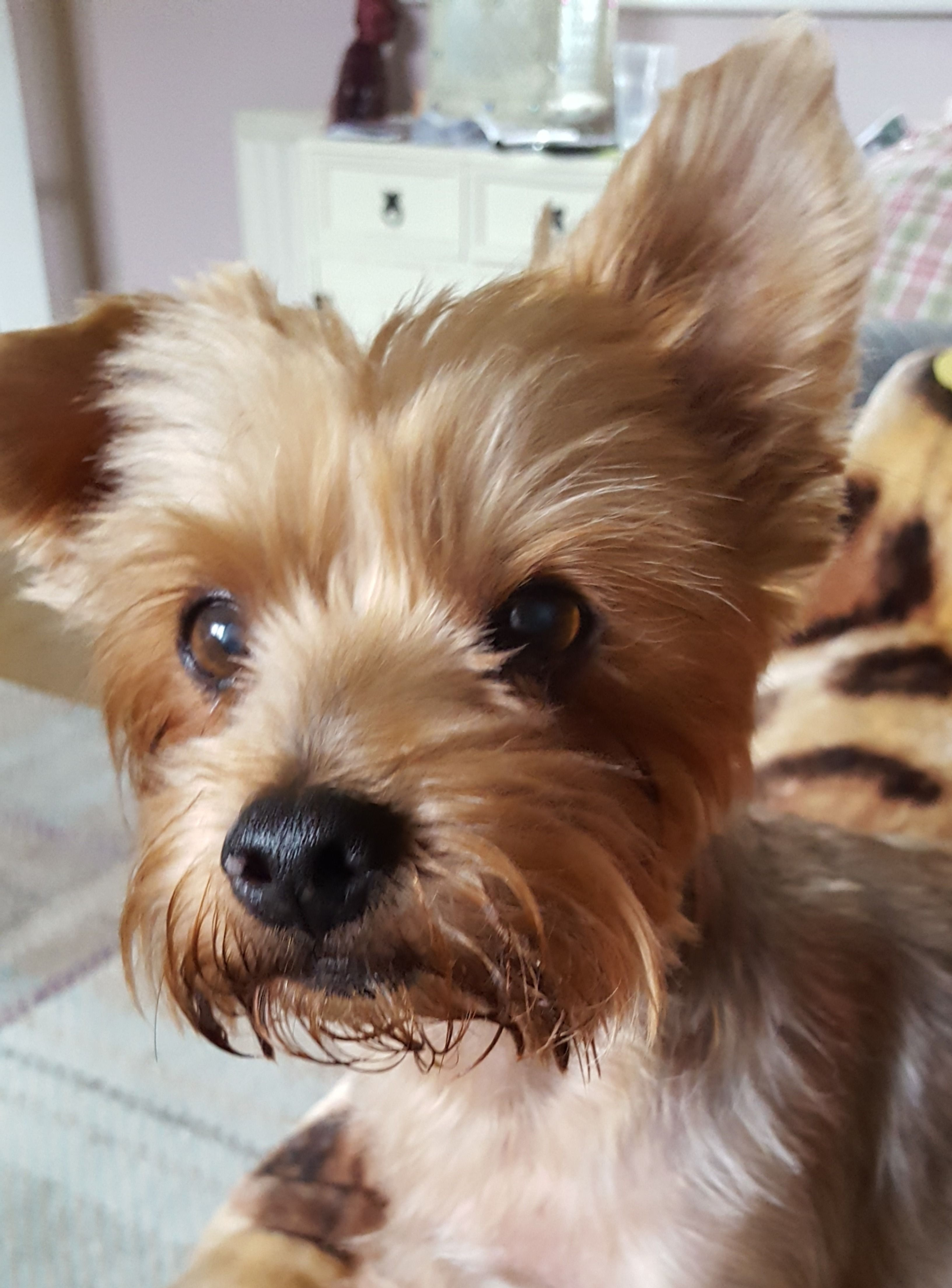 Little Alf What A Cutie Yorkie Yorkshire Terrier Yorkshire Terrier Cute Dogs